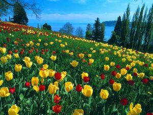tulips-field1