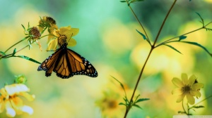 butterfly-yellow-flower-monarch_484465