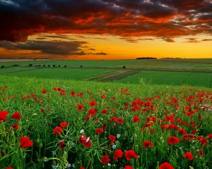 Red-Flowers-Among-Green-Grass