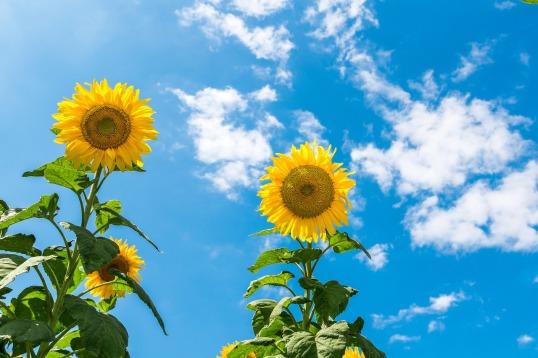 sunflower-2785420_1280